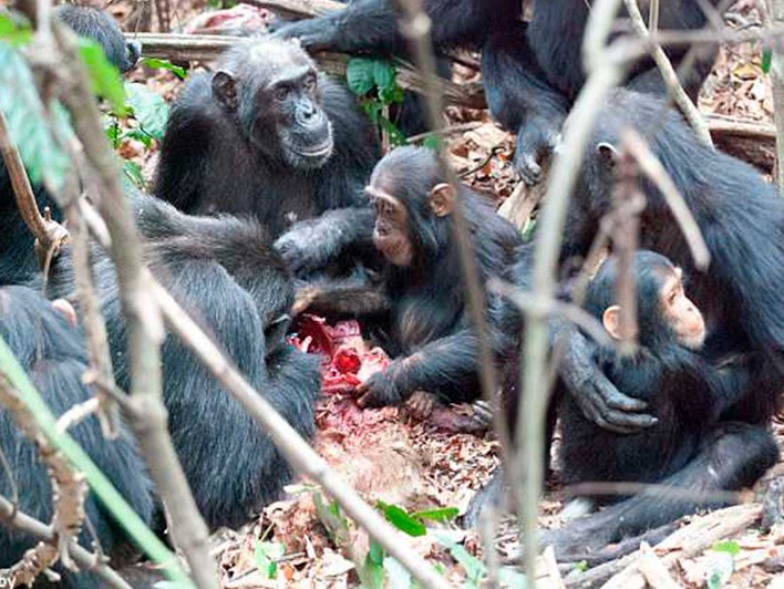 Fleischfressende Schimpansen in Gombe