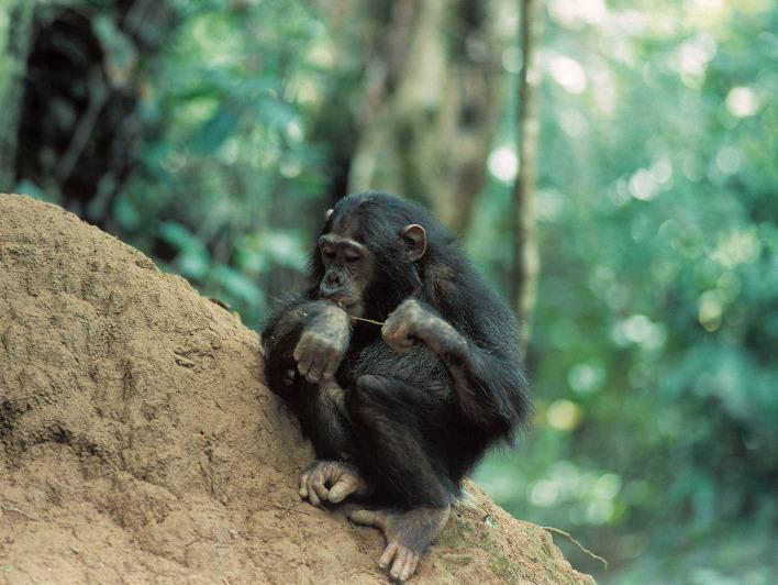Schimpanse benutzt Stock um Ameisen zu fangen