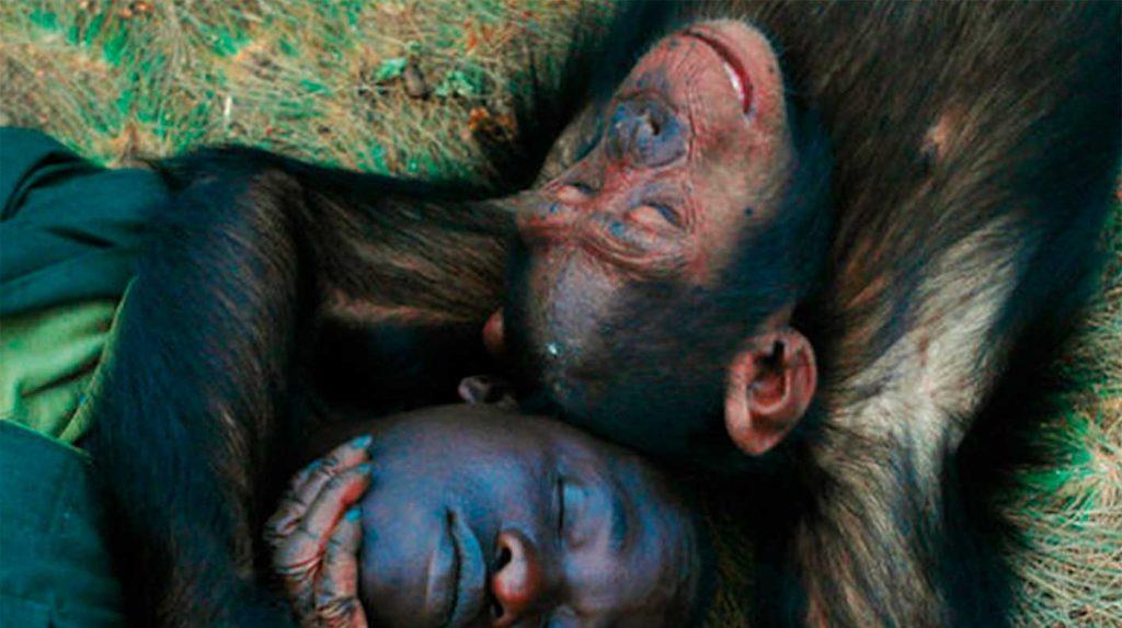 Pfleger liegt mit Schimpanse Arm in Arm zusammen