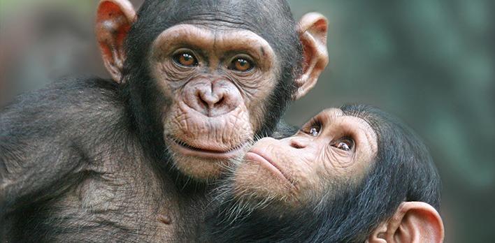 Zwei befreundete Schimpansen umarmen sich