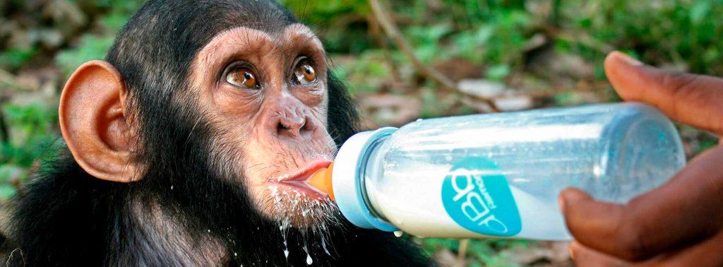 Junger Schimpanse wird mit der Milchflasche gefüttert