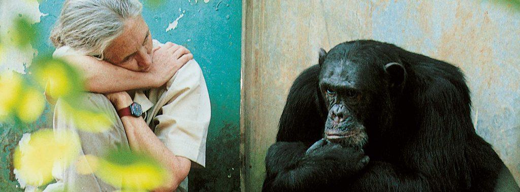 Jane Goodall und David Greybeard sitzen nebeneinander und nachdenklicher Position