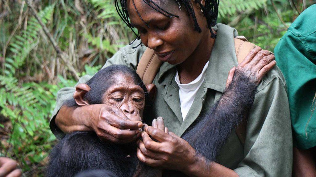 Pflegerin umsorgt Schimpansen und hält ihn im Arm