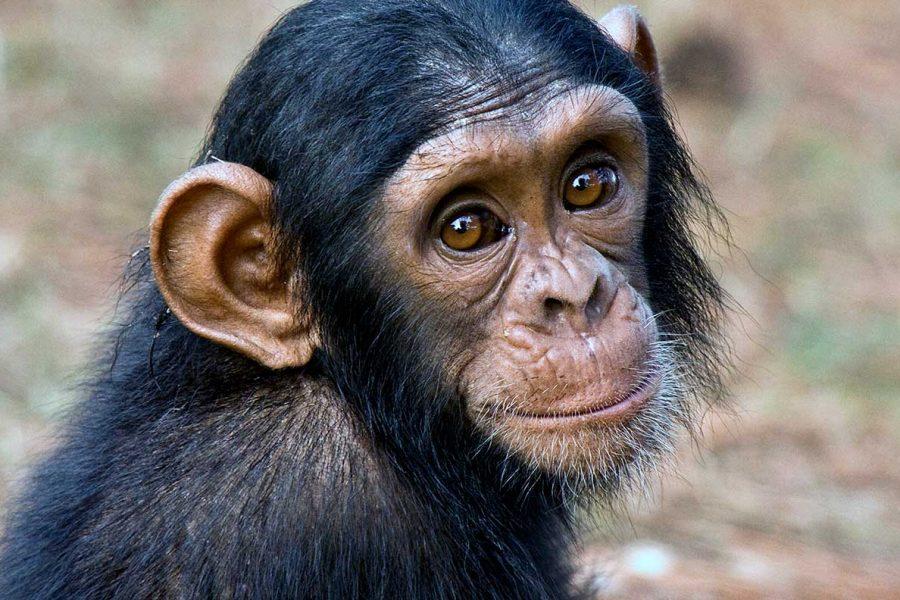 Baby Schimpanse
