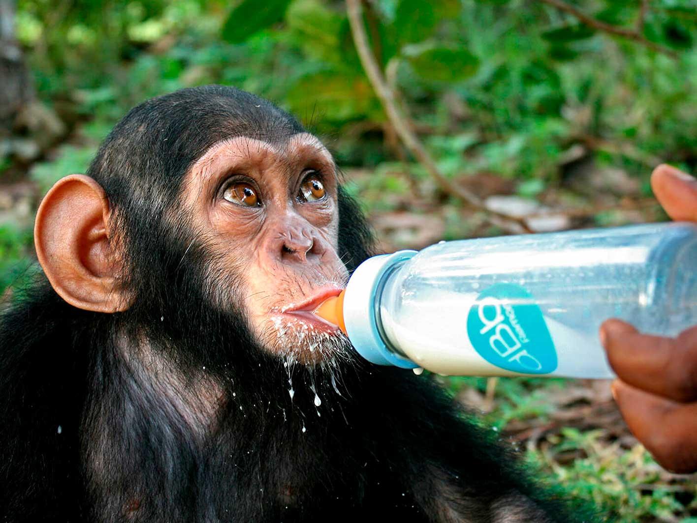 Junger Schimpanse wird mit Flasche gefüttert.
