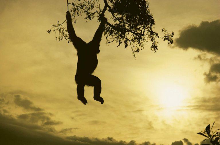 Ein Schimpanse hangelt an zwei Ästen eines Baumes und blickt in Richtung Horizont