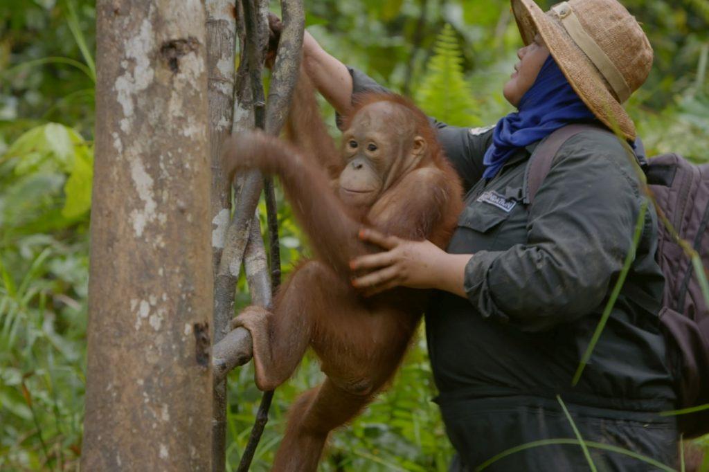 Orang-Utan mit Pflegerin in der Waldschule Borneo Orangutan Survival Foundation – Waldschule für Orang-Utan Waisen.