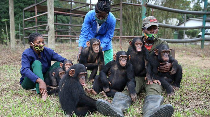 Schimpansen mit Pflegern in Tchimpounga, Kongo