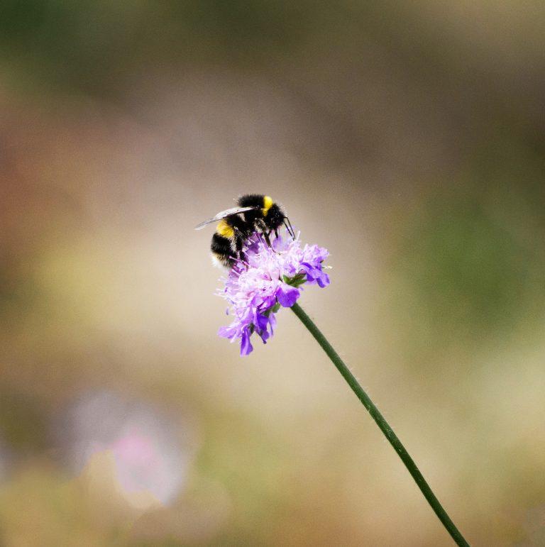 Eine Hummel sitzt auf einer Blume