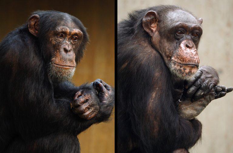 Bally und Limbo überlebten den Brand des Affenhauses im Zoo Krefeld